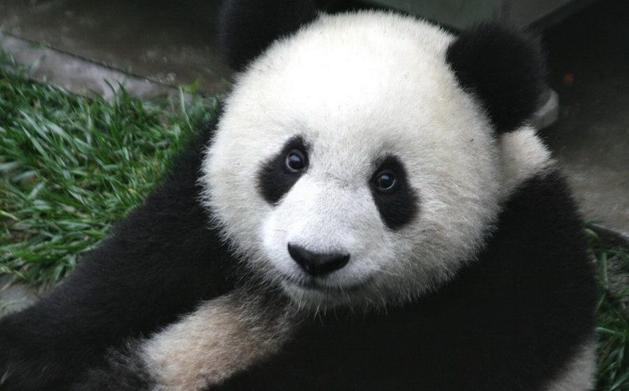 Панда препятствует работнику зоопарка выполнять свои обязанности