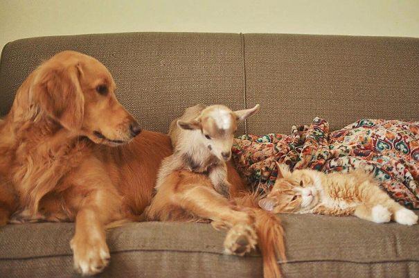 Собака стала мамой для козлят Фото: boredpanda.com