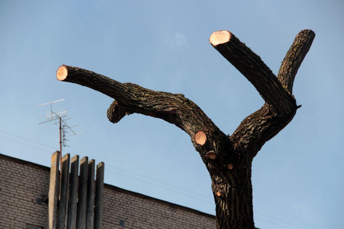 Вместо пышной кроны на дереве остались лишь короткие сучья
