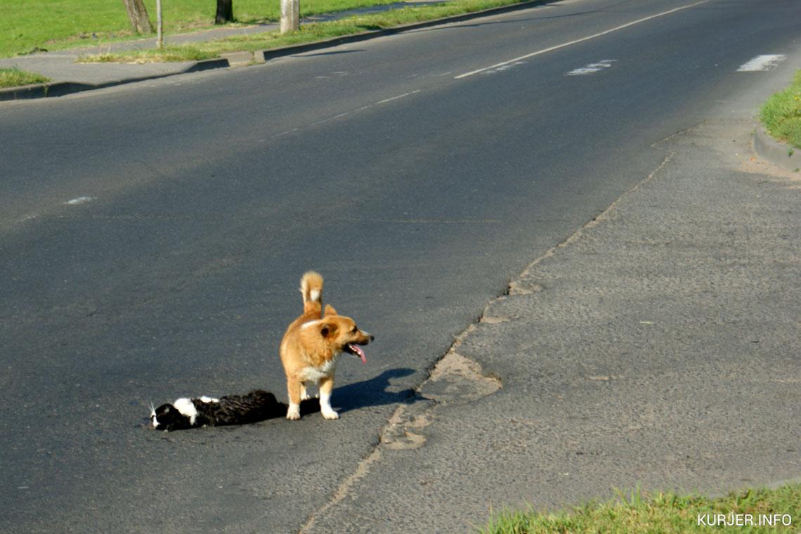 Пес пытается помочь сбитому коту. Фото: kurjer.info, Александр Южный