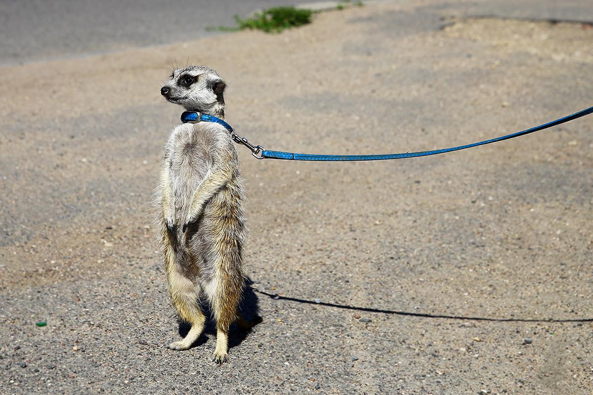 На прогулку Джои выводят на поводке, как простую собаку.