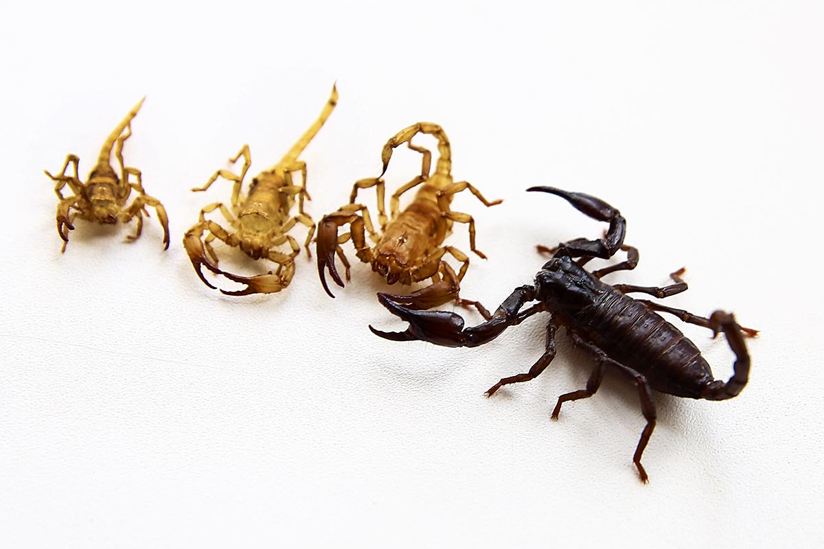 Скорпион Кеша со сброшенной оболочкой.