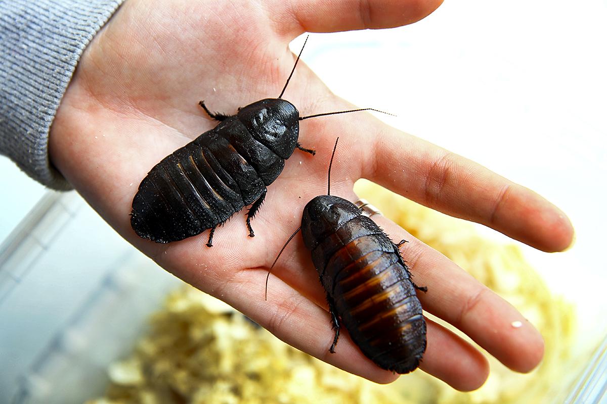 Выводок мадагаскарских тараканов служит кормом для паука и скорпиона.