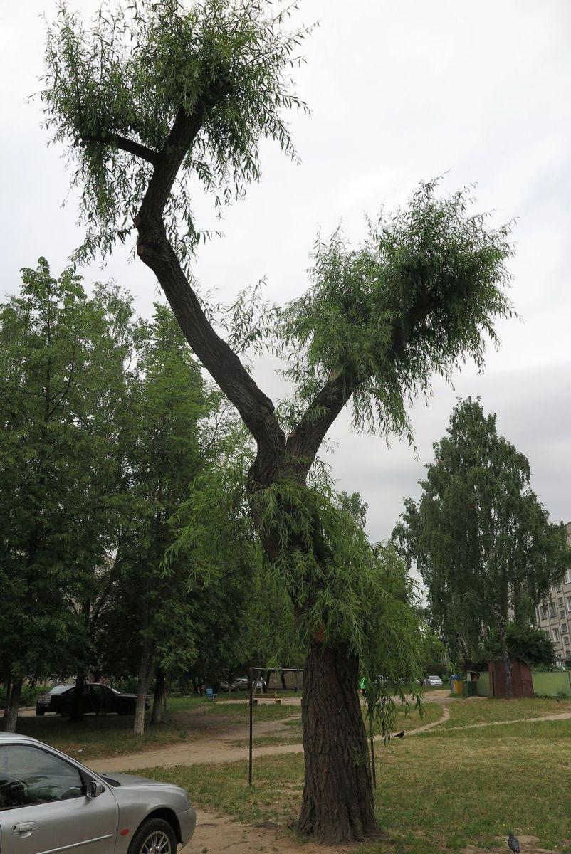 Так выглядит дерево через два месяца после обрезки ветвей, июнь 2017 года. Фото: Наталья СОЛОМЯНКО
