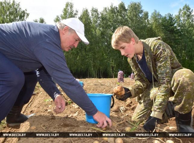 Николай и Александр Лукашенко на уборке картофеля. Фото: БЕЛТА