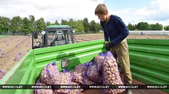 Николай Лукашенко на уборке картофеля. Фото: БЕЛТА