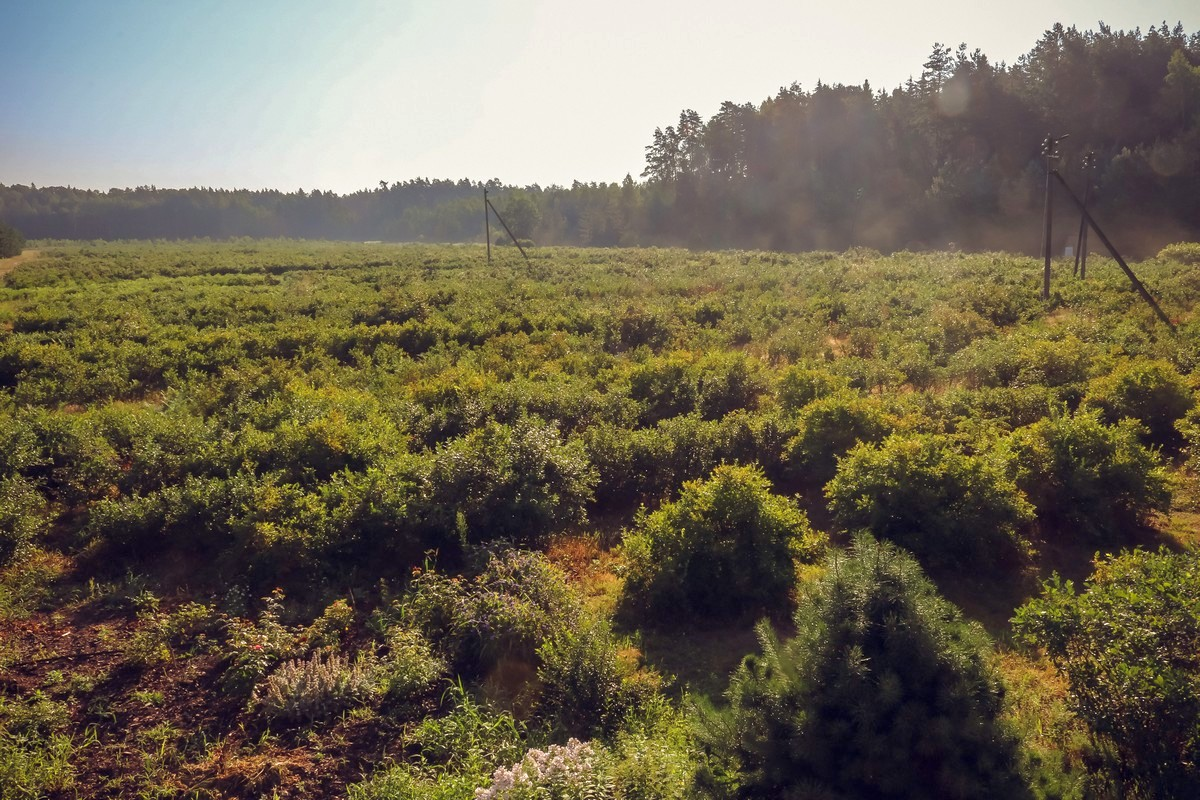 Утром, когда часть кустов голубики скрывает туман, оценить масштабы плантации очень сложно.