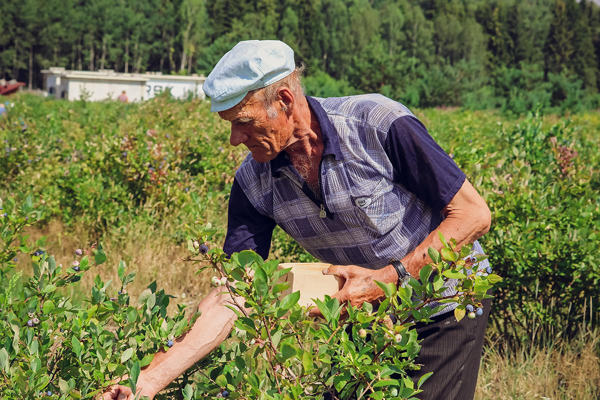 Пенсионер Владимир приходит собирать ягоды на полдня. За это время он успевает заработать 5-6 рублей.