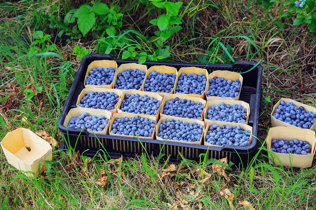Голубику собирают в небольшую посуду, чтобы с ягод не стерся светлый налет.