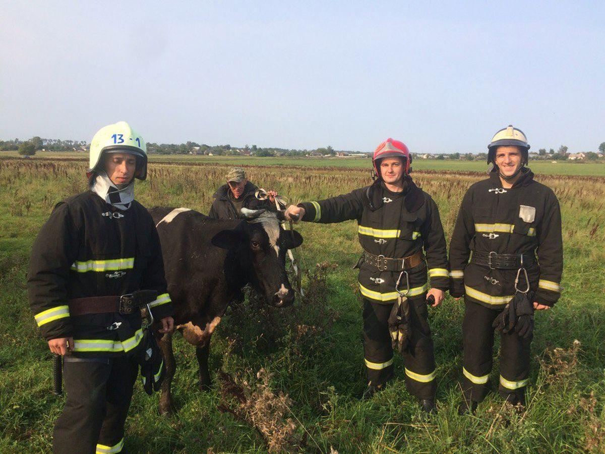 Ляховичские спасатели вытащили увязшую в болоте корову