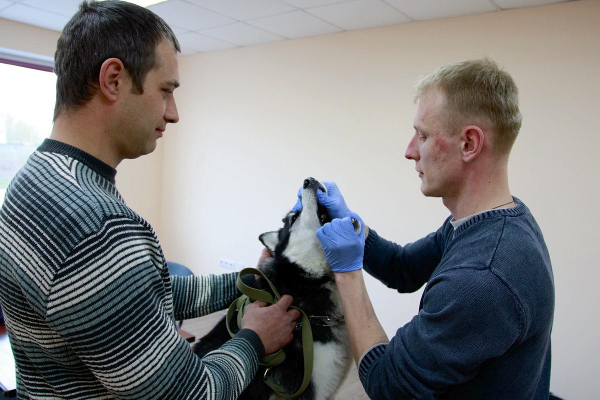 Ветеринар Алексей Ирушкин осматривает лайку по кличке Луна.  Фото: Александр ЧЕРНЫЙ